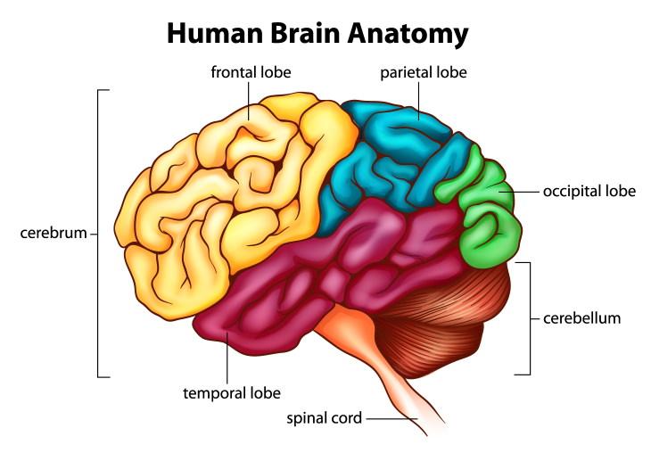 neuroplasticity brain anatomy chart
