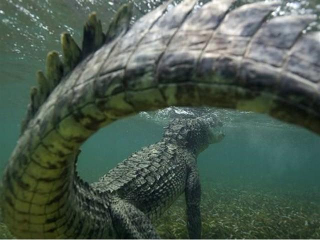 award winning photos: crocodile underwater