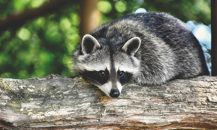 the SMARTEST Animals on the Planet Raccoons