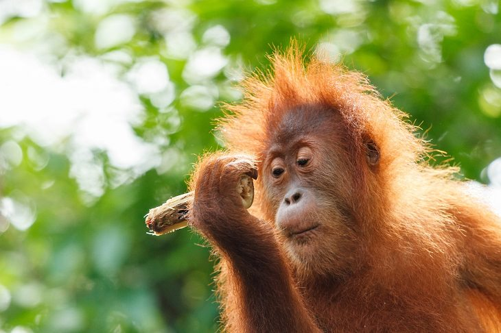 Animais MUITO espertos Orangotango