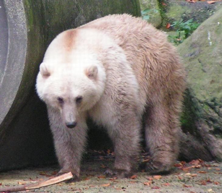 Animal Species Discovered in 2010's Grizzly-polar bear hybrid (U. maritimus × U. arctos)