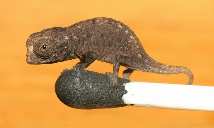 Animal Species Discovered in 2010's 1. Micro Chameleon (Brookesia micra)