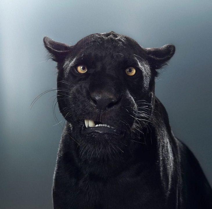 Big Cat Portraits jaguar