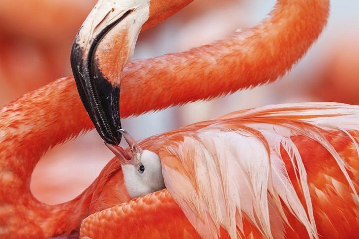 Wildlife Photos of the Year  Caribbean flamingos