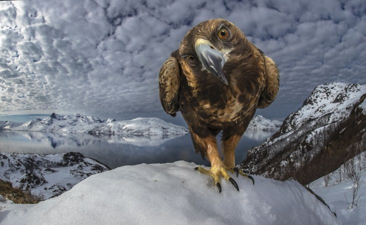 Wildlife Photos of the Year golden eagle