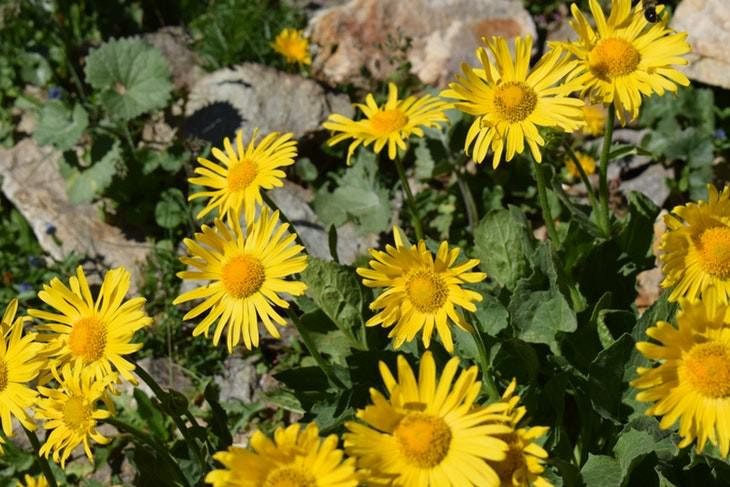 lower back remedies arnica flowers