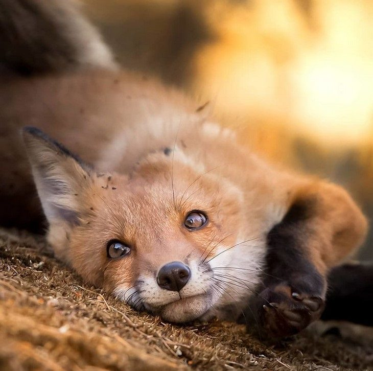 Animal photos from Finland: Fox