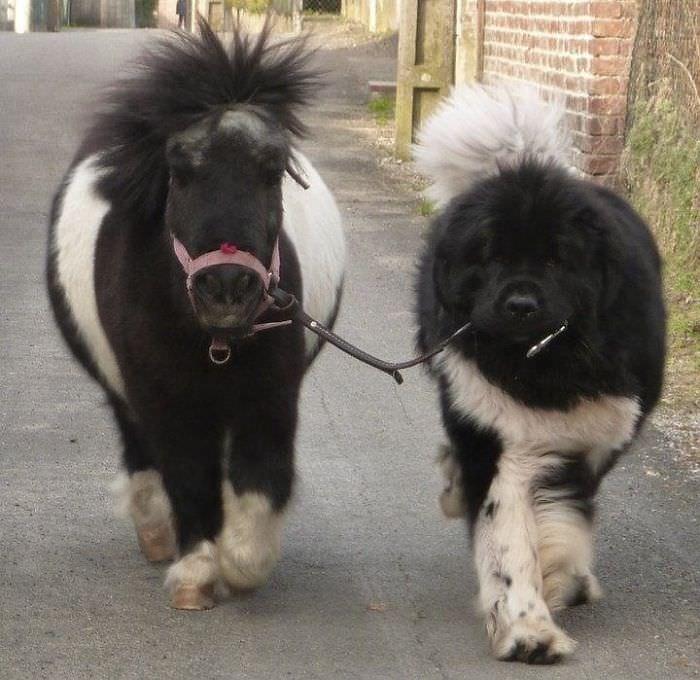 Nefoundland dogs