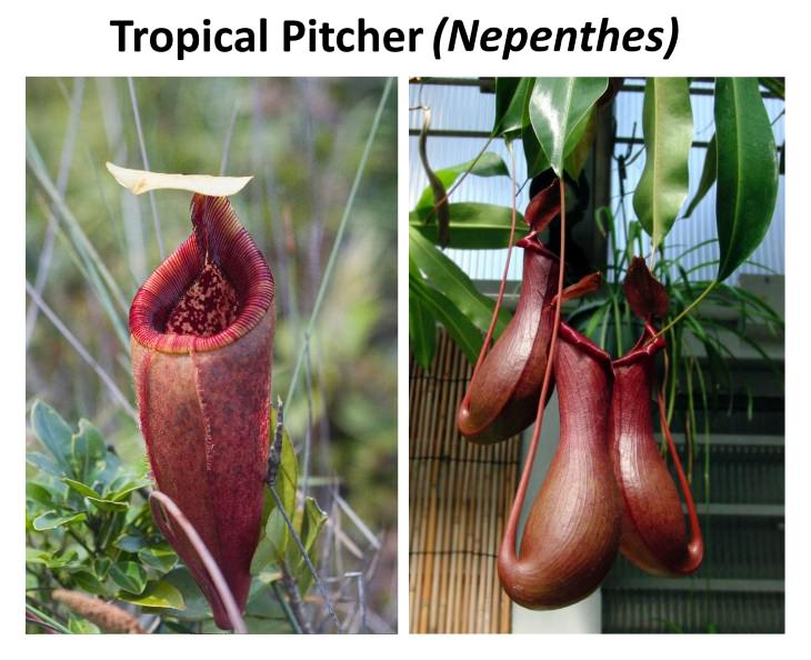 8 Exotic Plants nepenthes