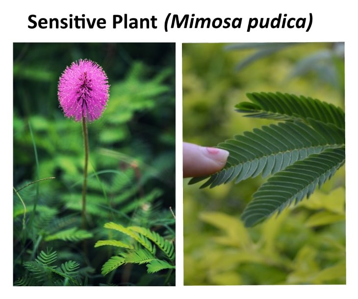 8 Exotic Plants sensitive plant