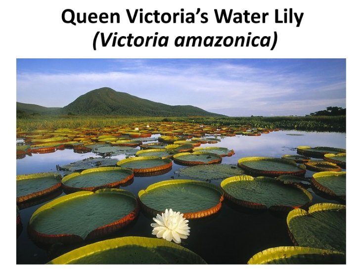 8 Exotic Plants Amazonian water lily