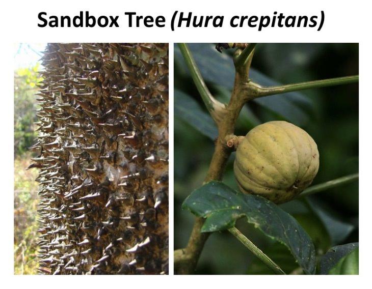 8 Exotic Plants Sandbox Tree