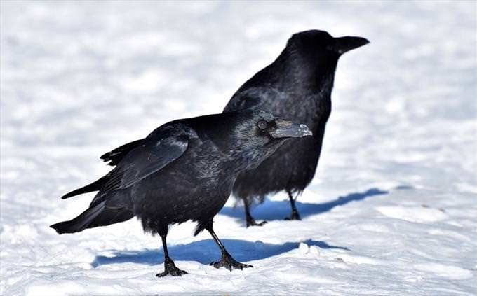 Animal vocabulary test: ravens