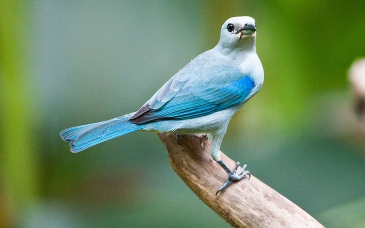 Birds of Costa Rica: tanager