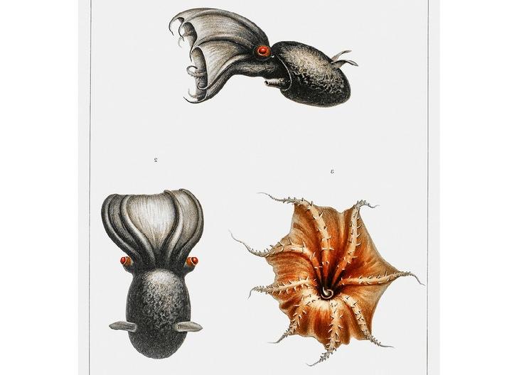 Deep sea creatures: vampire squid