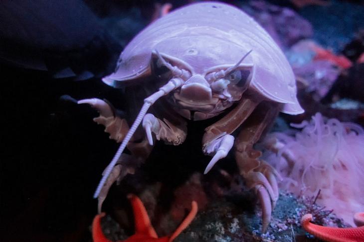 Deep sea creatures: giant isopod