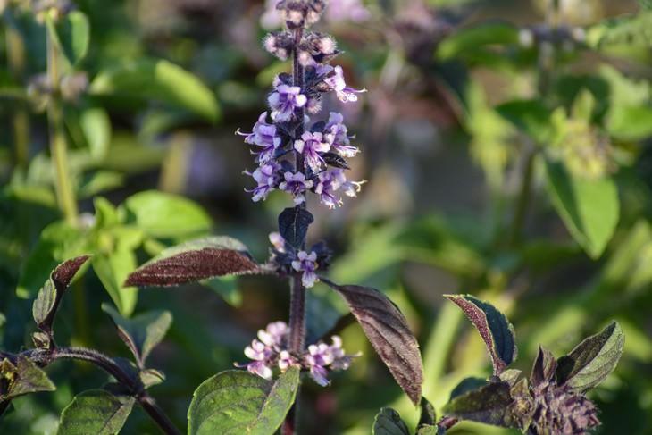 basil seeds health benefits purple plant