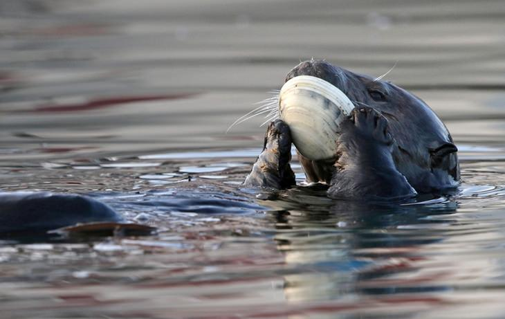 Otters: clam