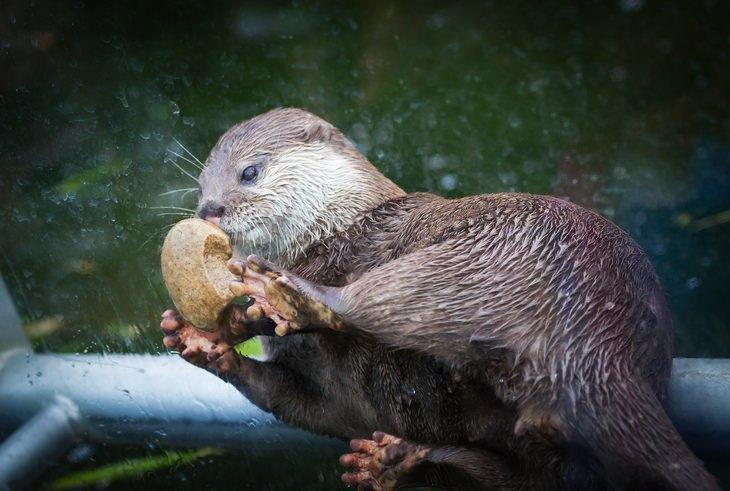 Otters: rock