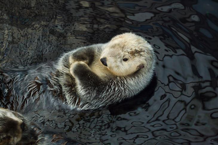 Otters: sea otter