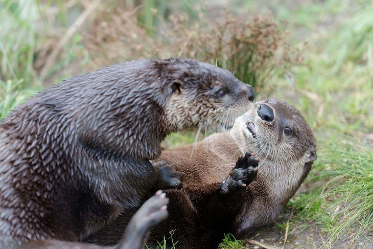 Otters: play