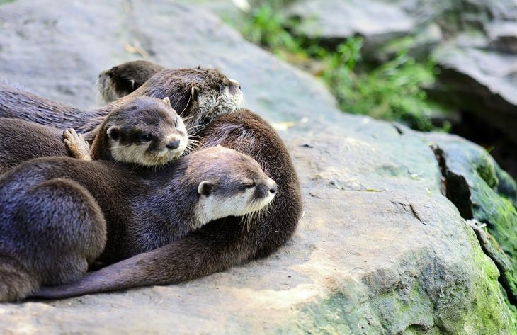 Otters: family