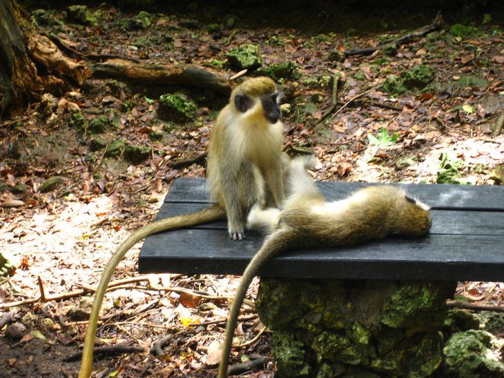 Barbados: green monkeys