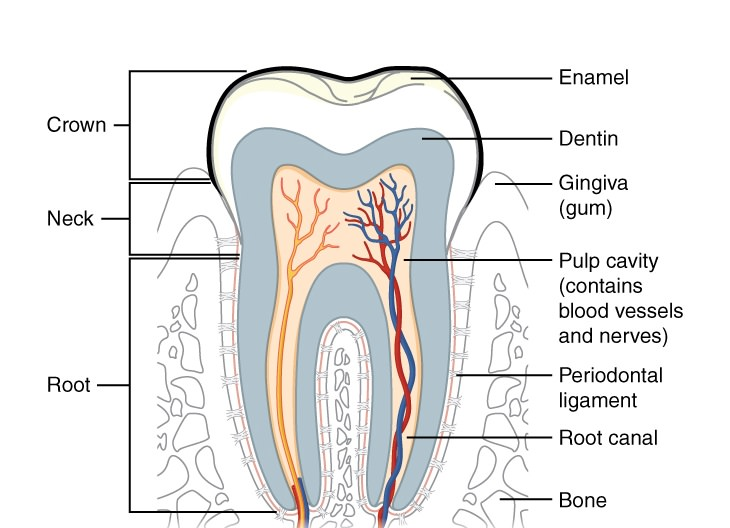 whitening strips bad for teeth diagram