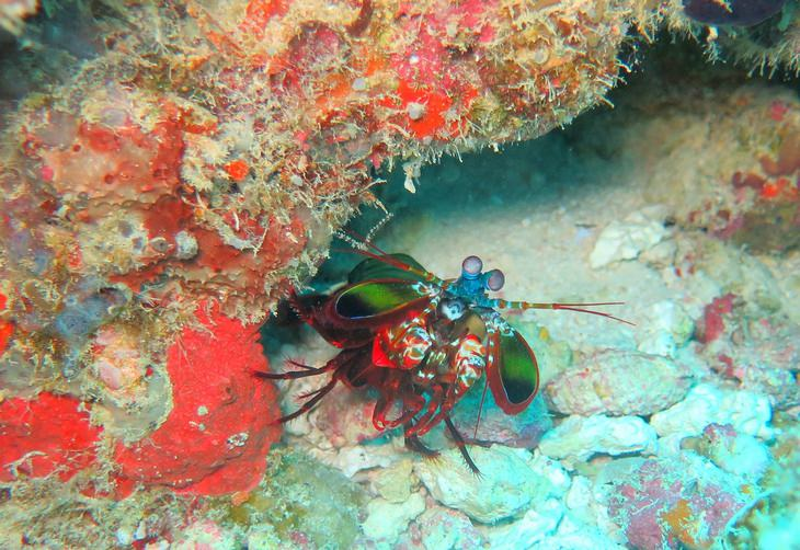 Nature is crazy: Peacock Mantis Shrimp