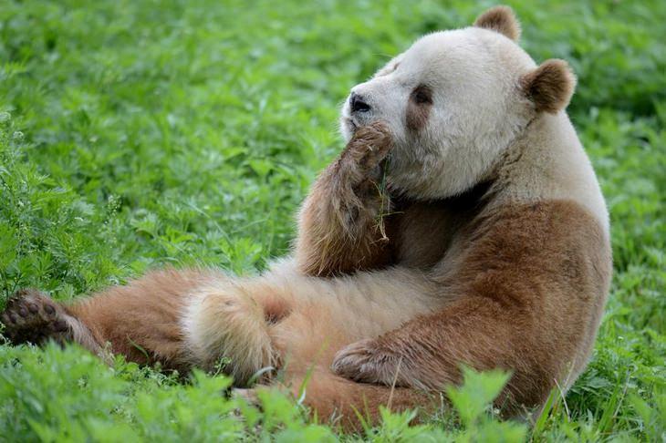 Nature is crazy:  Qinling Pandas