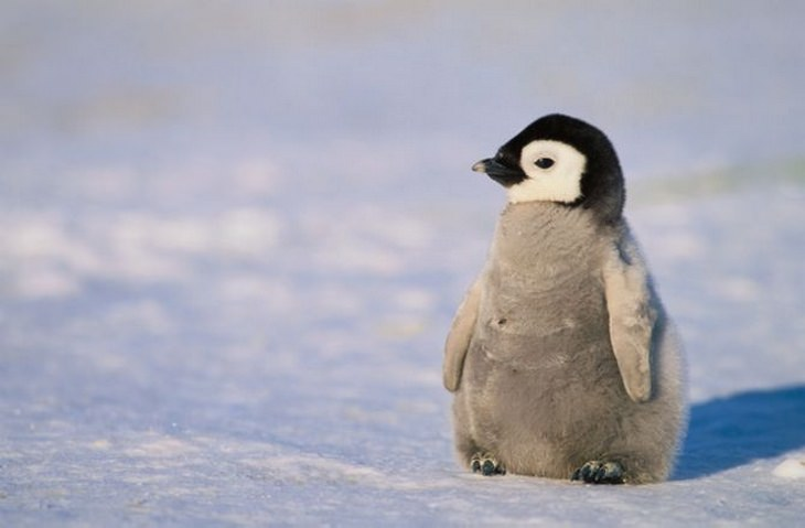 Polar animals: penguin