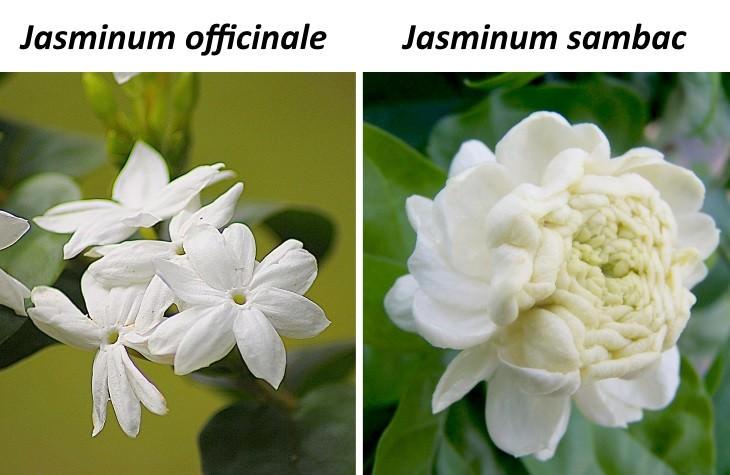 jasmine tea 2 kinds of jasmine used in tea