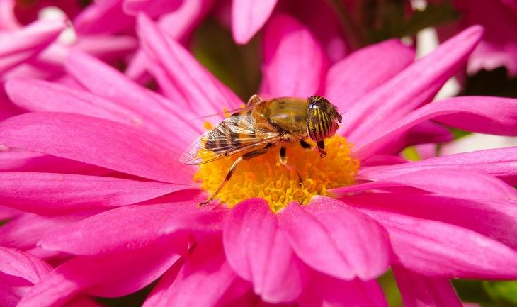 Animal mimics: bee fly