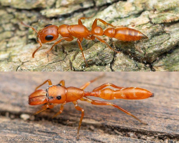 Animal mimics: ant spider