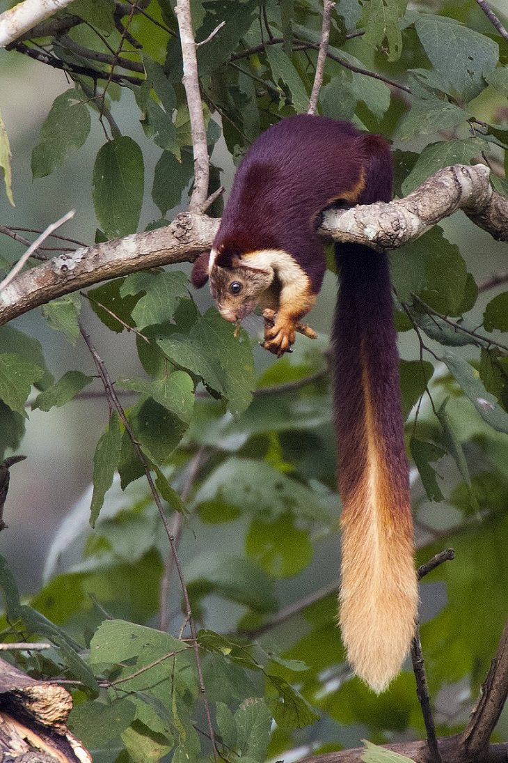 Indian Giant Squirrel, nature, family, adorable, fluffy, rats, species, cute overload, relatives, rodents,