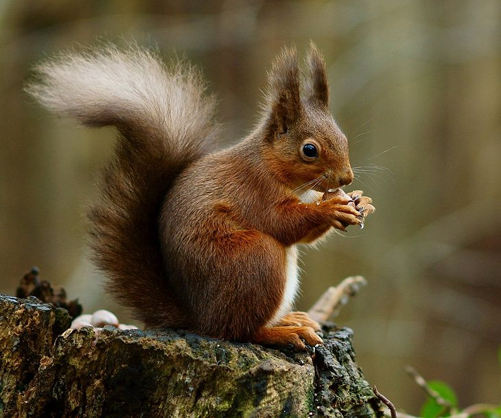 Eurasian Red Squirrel, nature, family, adorable, fluffy, rats, species, cute overload, relatives, rodents,