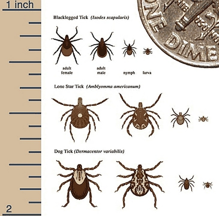 Lyme disease: tick species and size