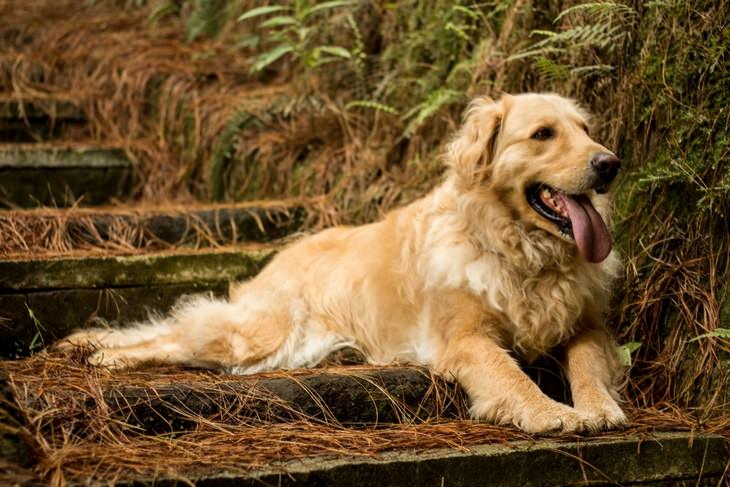 Beautiful pets: golden retriever
