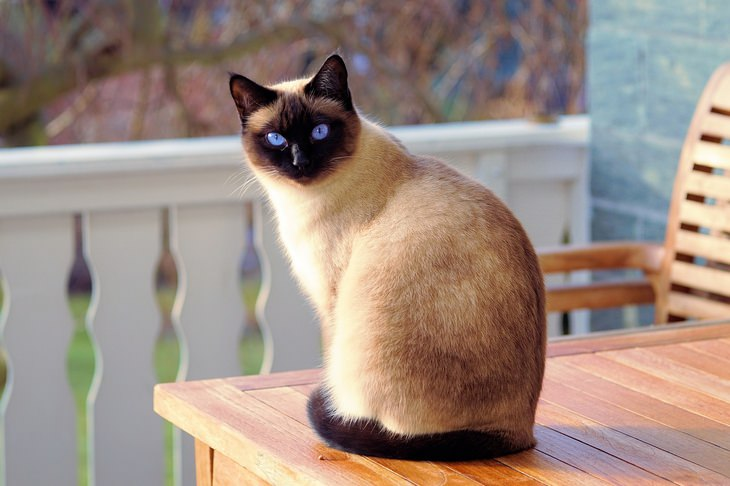Beautiful pets: siamese