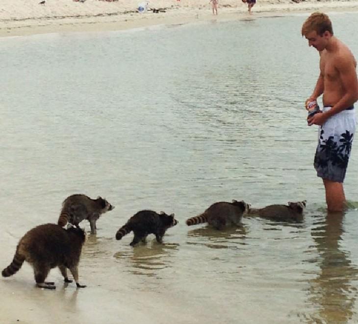 hilarious beach photos racoons at the beach