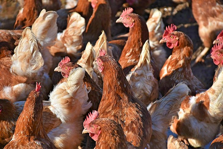 chicken breast nutrition chickens in a farm