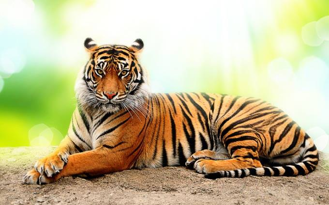 Tiger quiz: tiger lying down