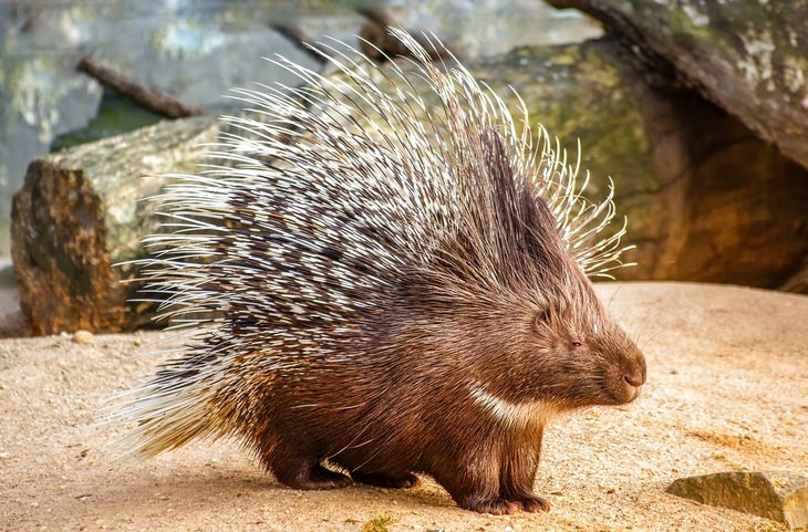 Animal myths: porcupine