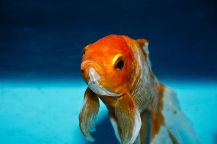 Animal myths: goldfish