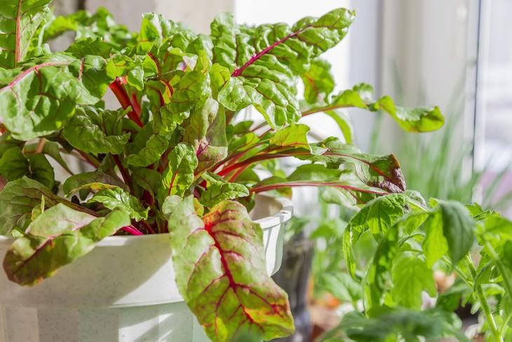 indoor gardening beets