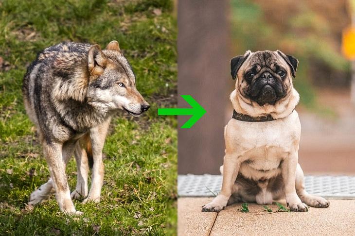 GMOs: wolf pug