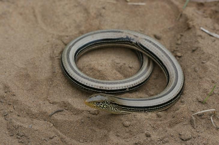 Unknown animals: glass lizard