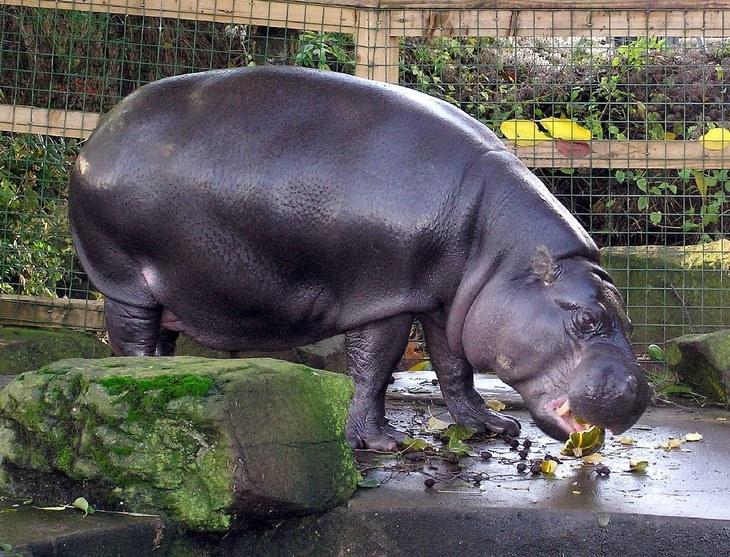 Unknown animals: pygmy hippo