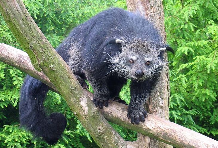 Unknown animals: binturong bearcat