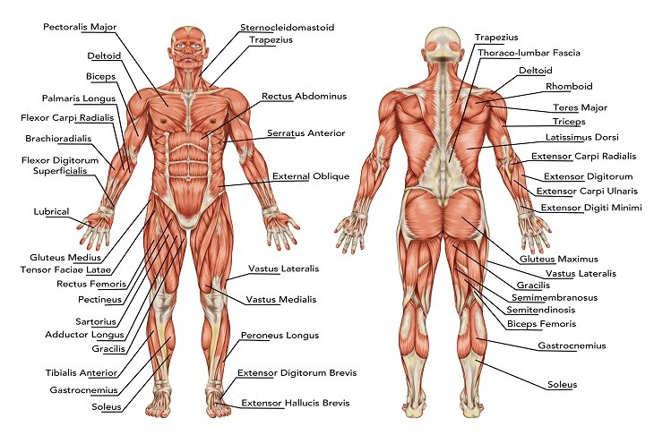 Muscle gain: muscles anatomy